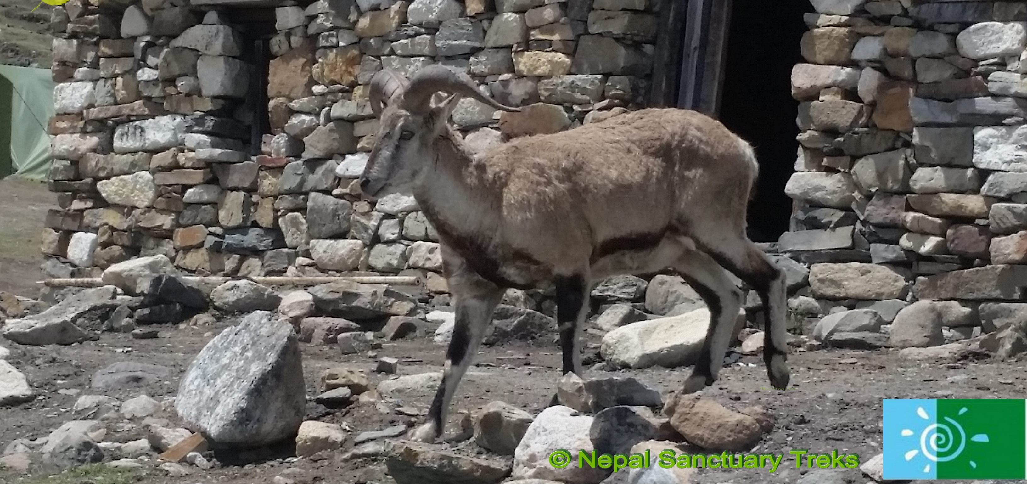 Manaslu Trek: Blue Sheep in Manaslu Dharmashala