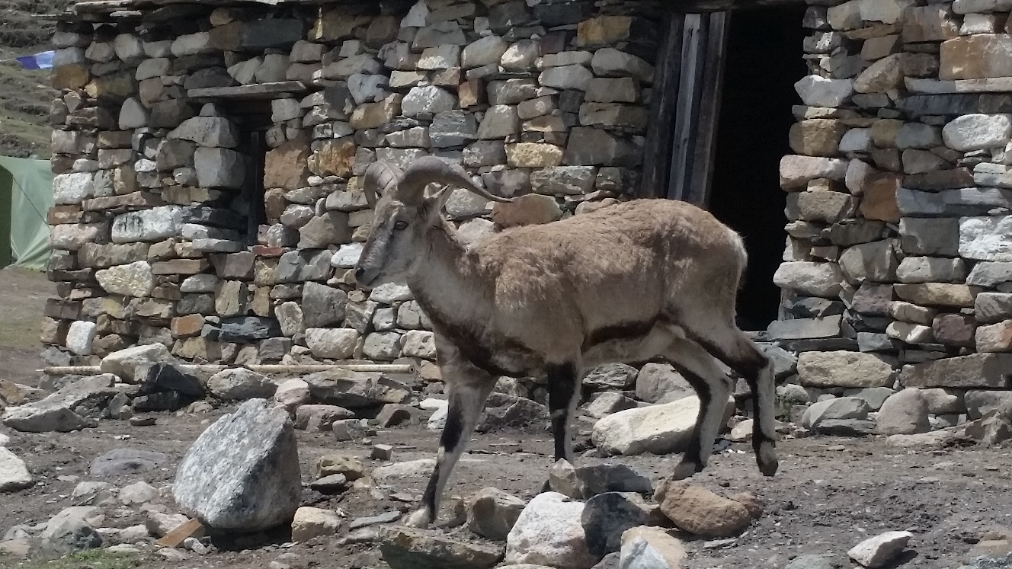 Sheep in Manaslu