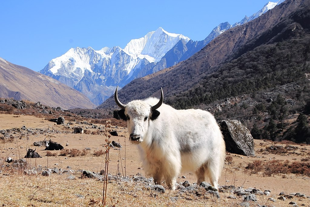 Yak-in-Langtang-Valley