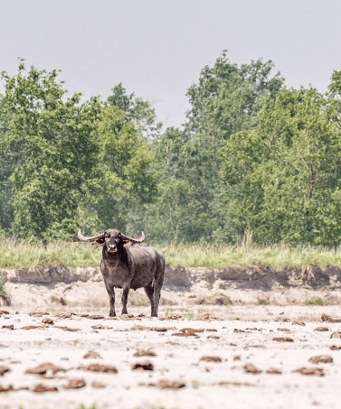wild-water-buffalo